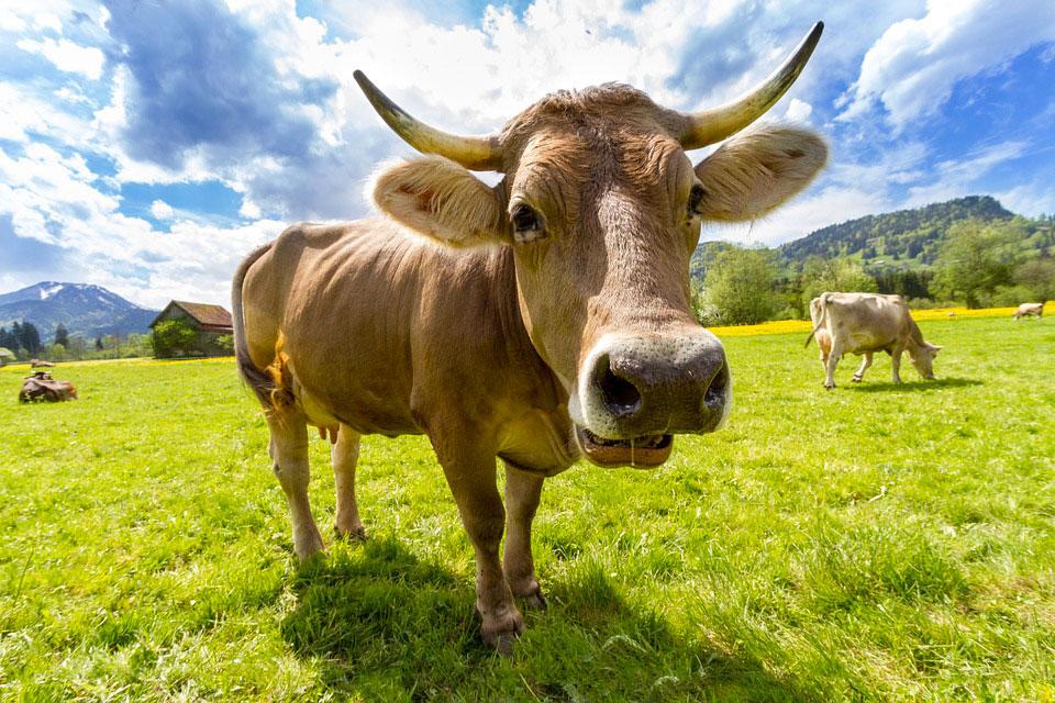 Mucca su prato verde
