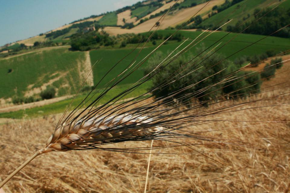La Viola, campo di grano