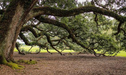 Arriva l'atlante degli alberi monumentali d'Italia redatto dal Mipaaf