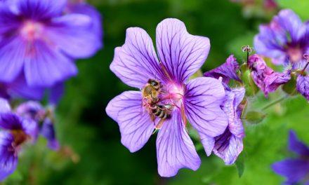 Oggi è la Giornata Mondiale delle Api, insetti di fondamentale importanza per il nostro Pianeta