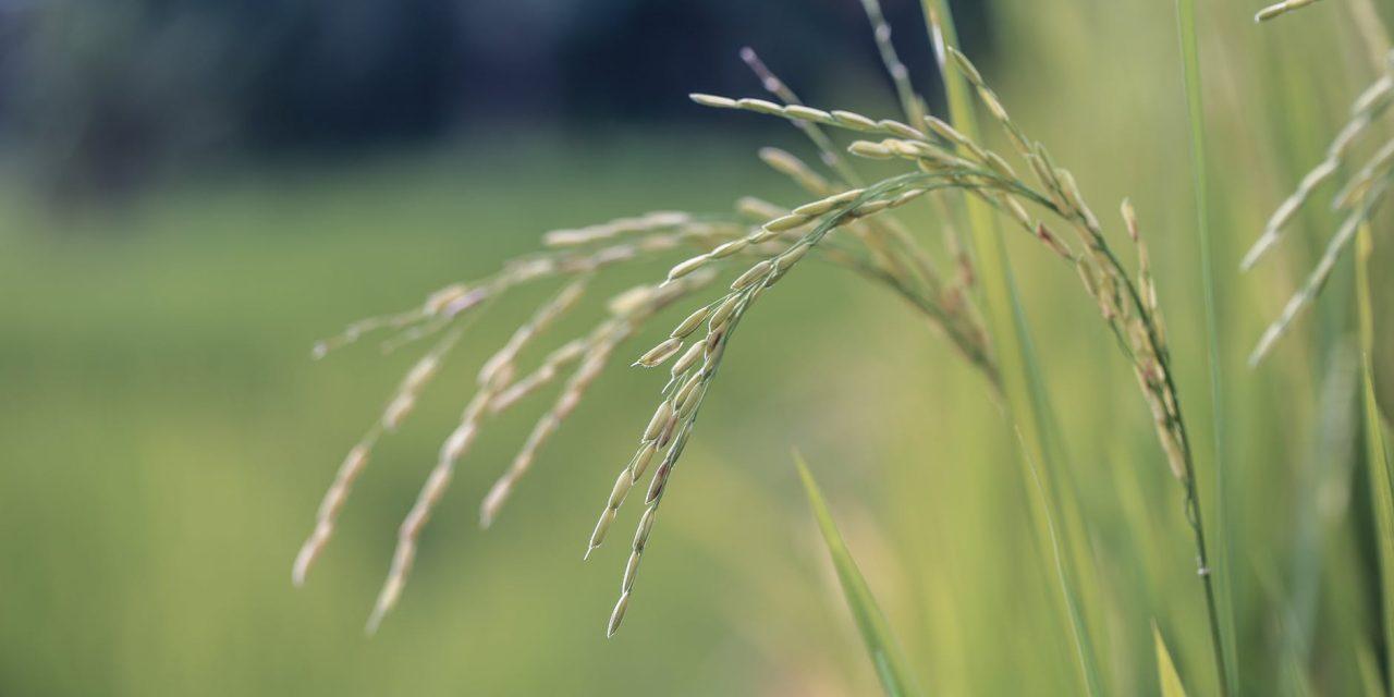 Ricehouse, case in riso e in legno per una sostenibilità naturale e durevole