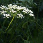 Gli straordinari benefici dell'anice verde in agricoltura e non solo esplorati nel festival Anìs 2018