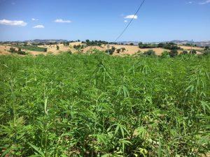 coltivazione canapa
